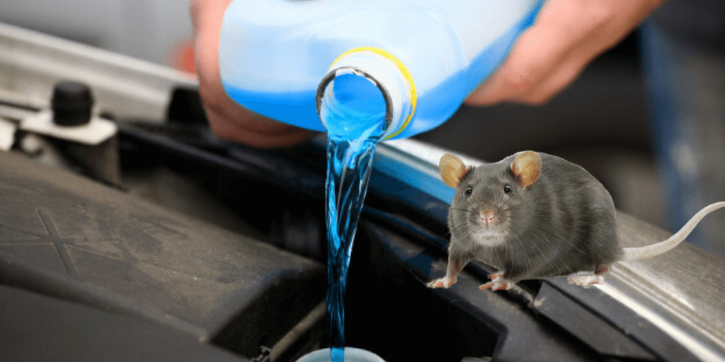 Will Antifreeze Kill Rats