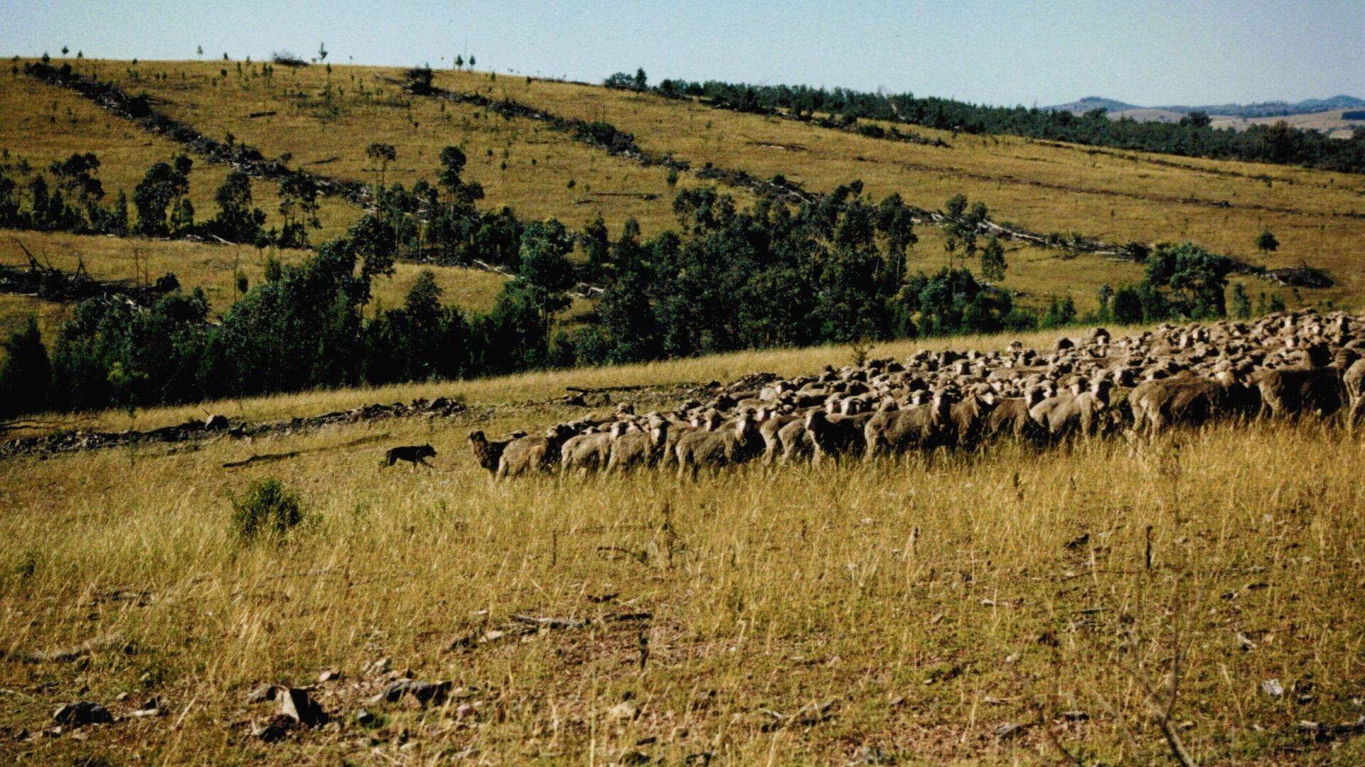 Working Kelpies hüten in Australien