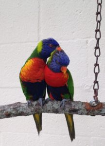 Love birds grooming.
