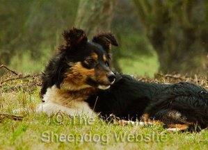 Gorgeous young sheepdog, Midge lying on the ground looking over her shoulder