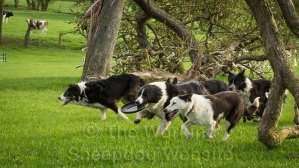 Running with the pack - Border collies playing with a frisbee