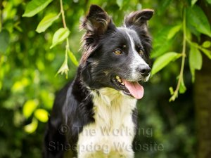 Young skilled sheepdog for sale - Jody.