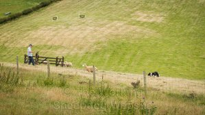 Sheep running around the outside of the pen at Bromsberrow Heath sheepdog trials.
