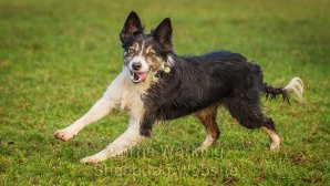 Delightful picture of a sheepdog running along, looking really happy!