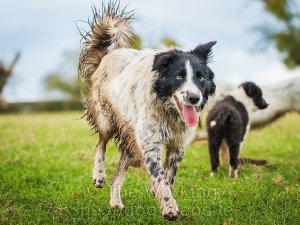 Black and mottled white border collie