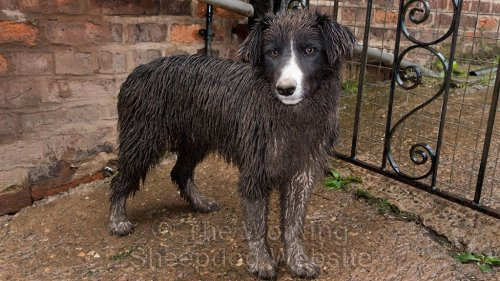 A very wet and muddy border collie puppy