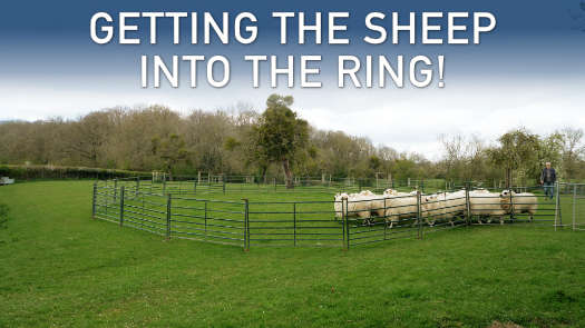 Thumbnail image for the sheep and cattle dog training tutorial: Getting the sheep into the ring