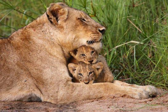 lioness-with-her-two-cubs