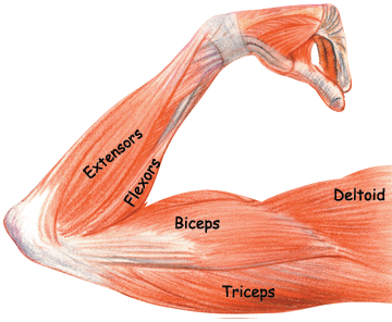 arm muscles: biceps, triceps, brachioradialis | workouttrends, Human Body