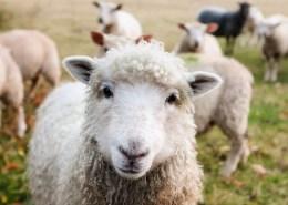 workshop schapen drijven