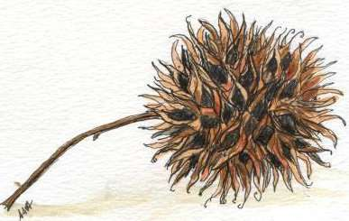 Sweetgum by Susi Hall