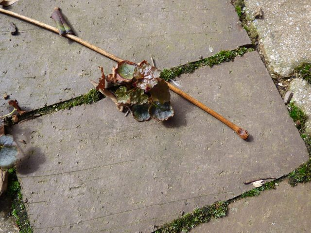 Traveling your backyard:  a self-seeded coral bells plant