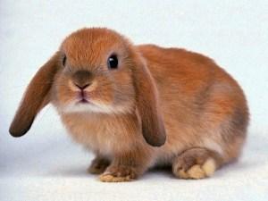 Голландский вислоухий кролик порода фото