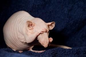 крыса сфинкс