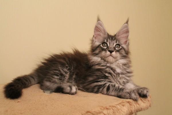 кошки мейн кун описание породы цена