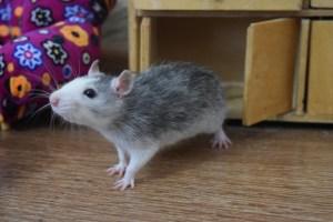 Декоративная крыса Дамбо