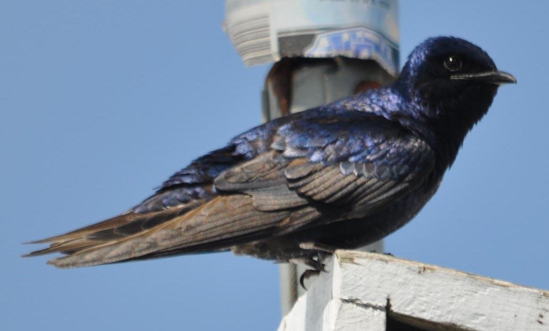 Pair Indigo Bunting Bird