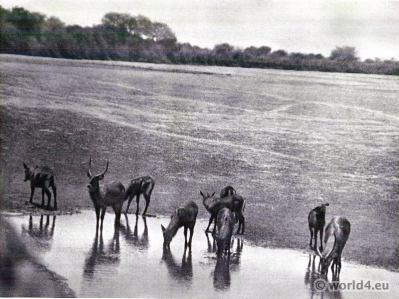 African Water-buck. Animals of Africa.