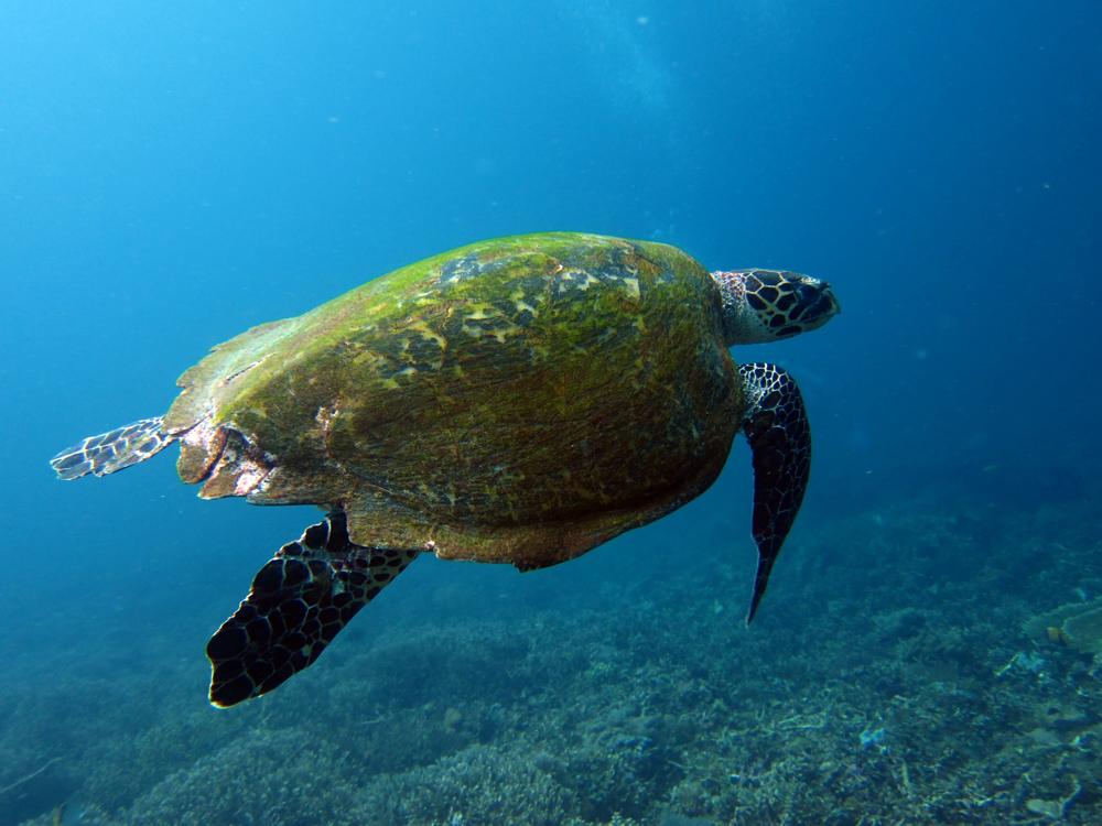 Turtle diving in Komodo Indonesia