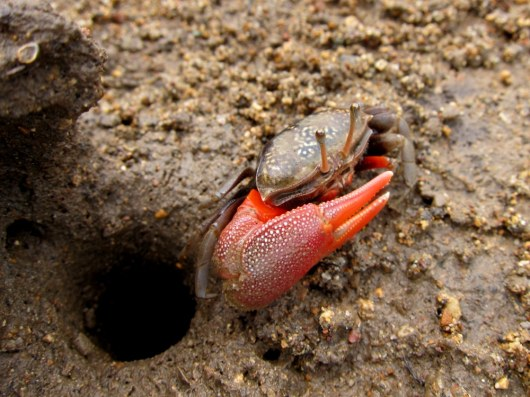 ground crab rinca island Indonesia