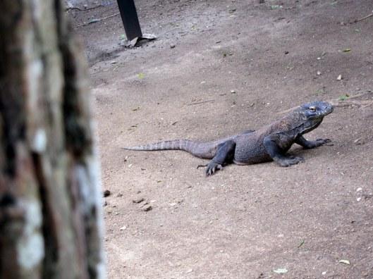 Komodo dragon 2