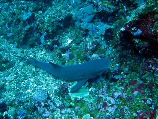 Black tip shark Komodo Indonesia