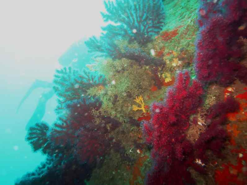 red gorgonians Procida Italy scuba diving