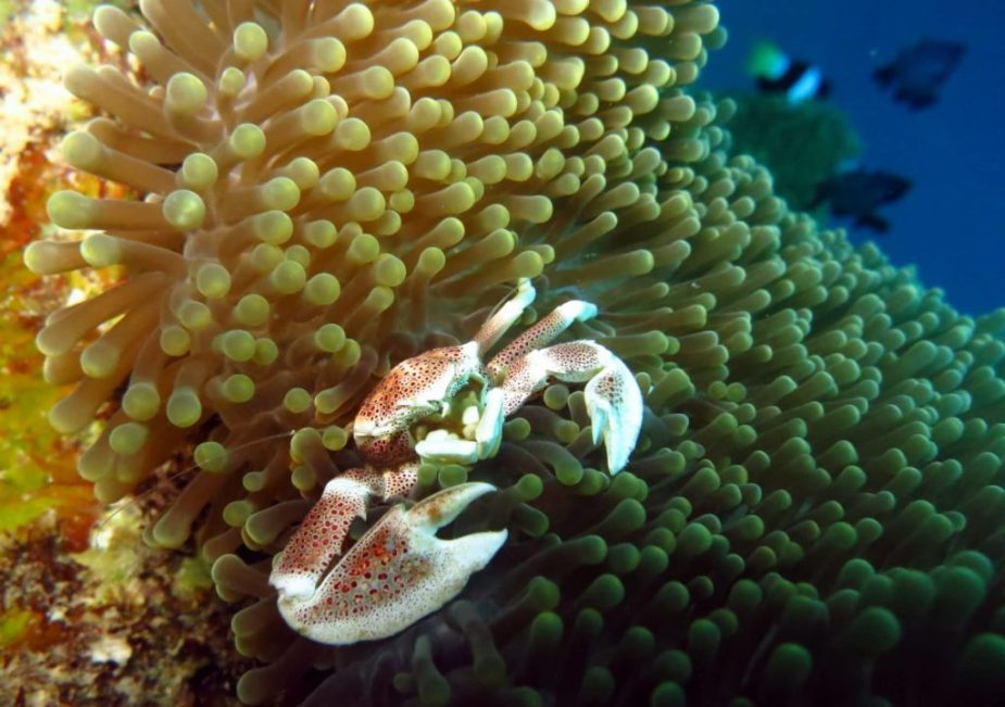 Porcelain crab - Diving Visayas Philippines - best diving in Asia