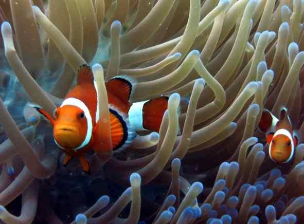 Clown fish Alona reef Panglao Bohol Philippines - edit underwater photos