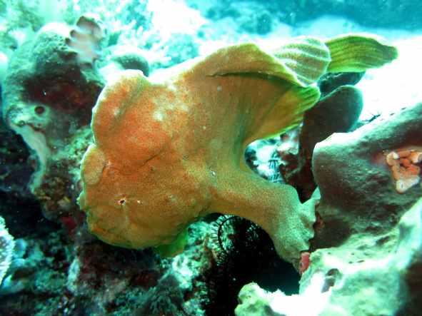 Frog fish Balicasag Bohol Philippines