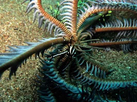 crab muck diving Dauin Negros Philippines