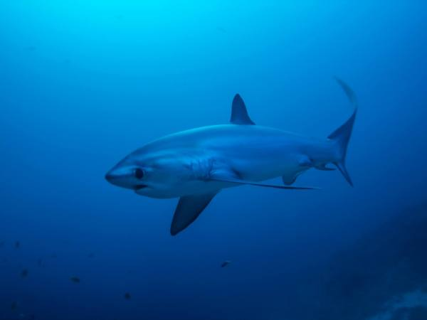 Thresher Shark Malapascua Philippines