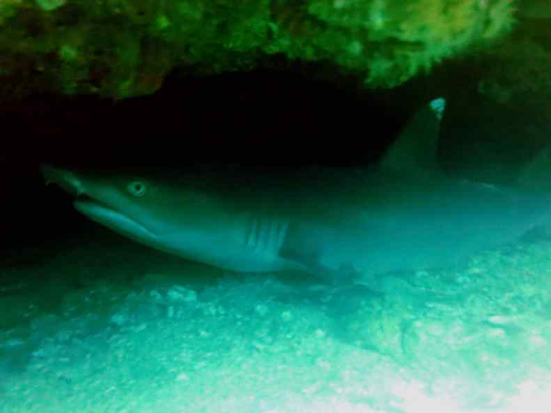 White tip shark Gato island cavern Scuba diving Malapascua Philippines