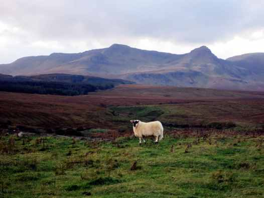 sheep in the mountains Island Skye Scotland