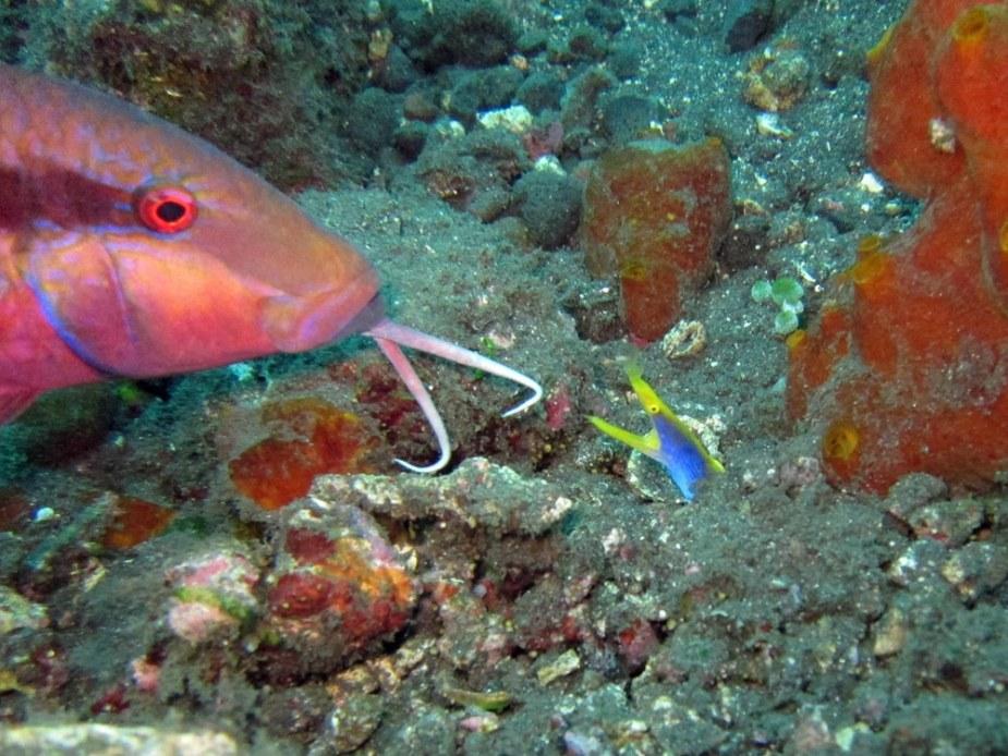 ribbon eel muck diving - best dive sites Bali