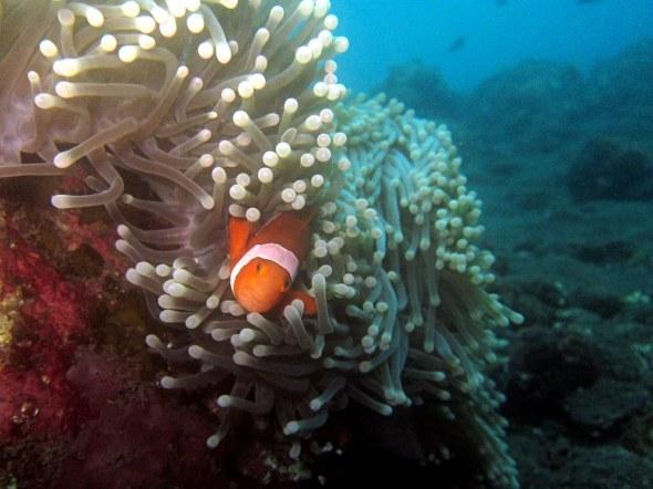 Clown fish Scubadiving Tulamben Amed Bali
