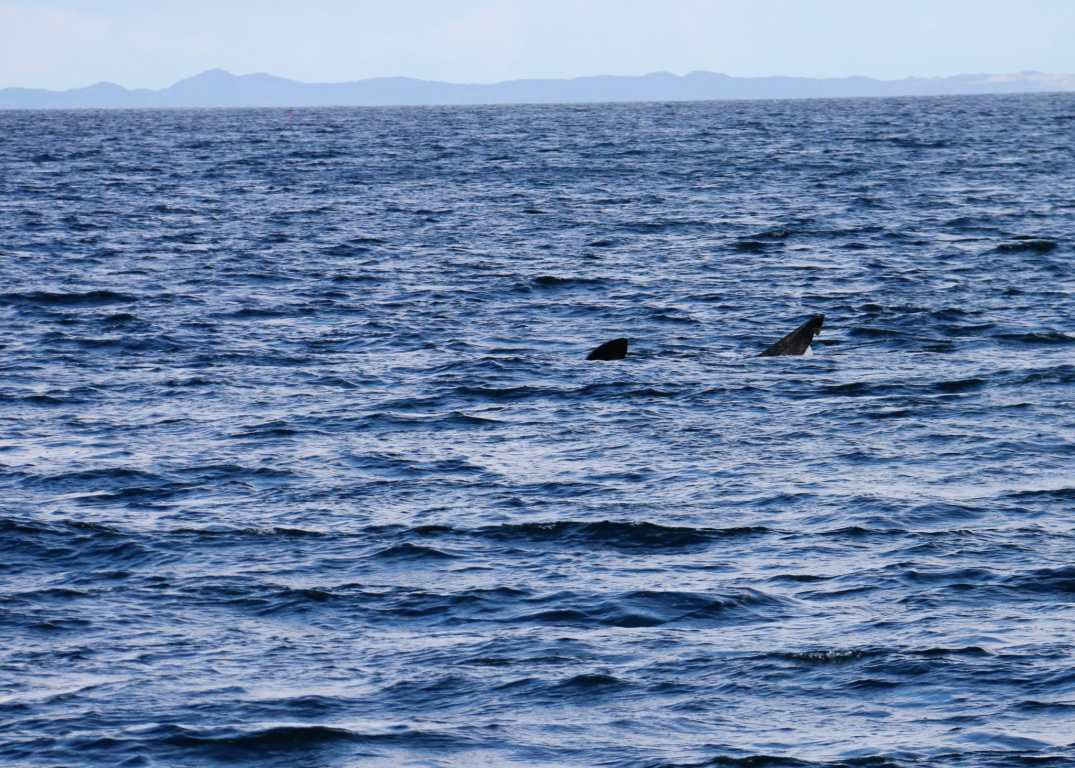 Basking shark trip Sound of Mull Scotland
