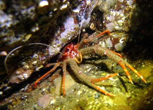 Squat lobster scuba diving Sound of Mull Scotland