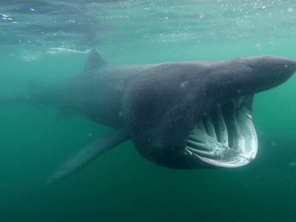 requins pèlerin écosse