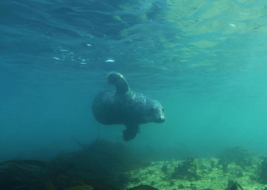 Grey seal Farne Islands UK - local diving