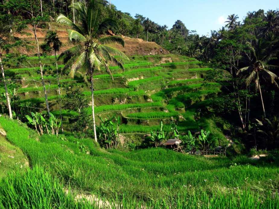 Rice terraces - fun things to do in Bali