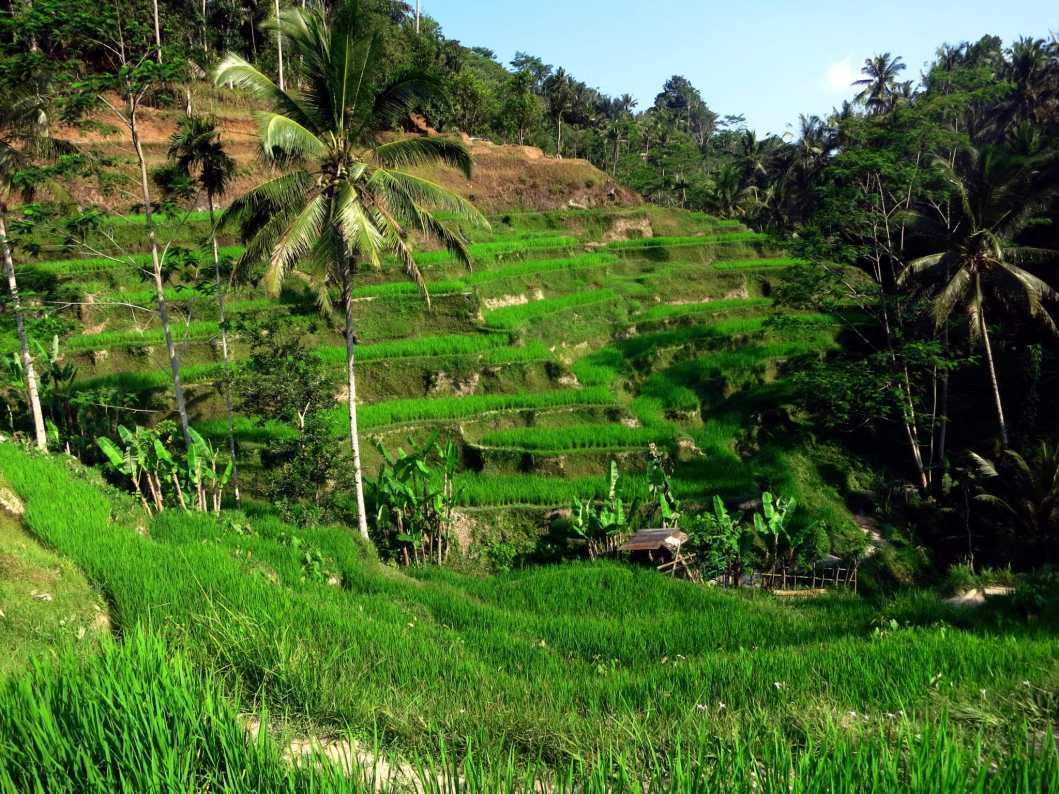 Rice terraces - Bali Itinerary - Bali Itinéraire
