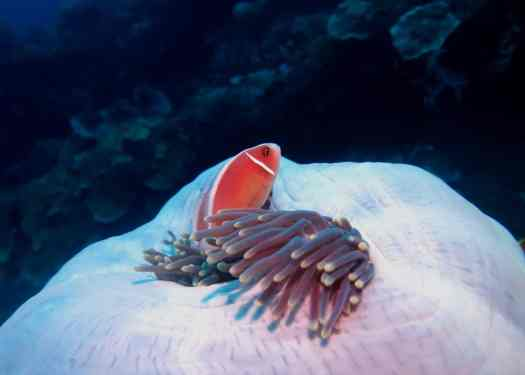 anemone fish scuba diving Tulamben Bali Indonesia