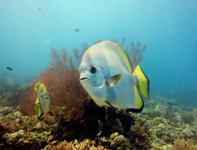 Batfish Scuba diving Menjangan Island Bali Indonesia