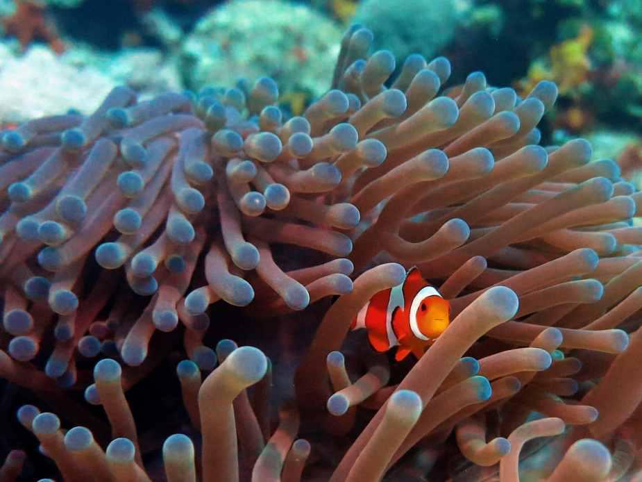 Clownfish scuba diving in Menjangan Island Bali Indonesia