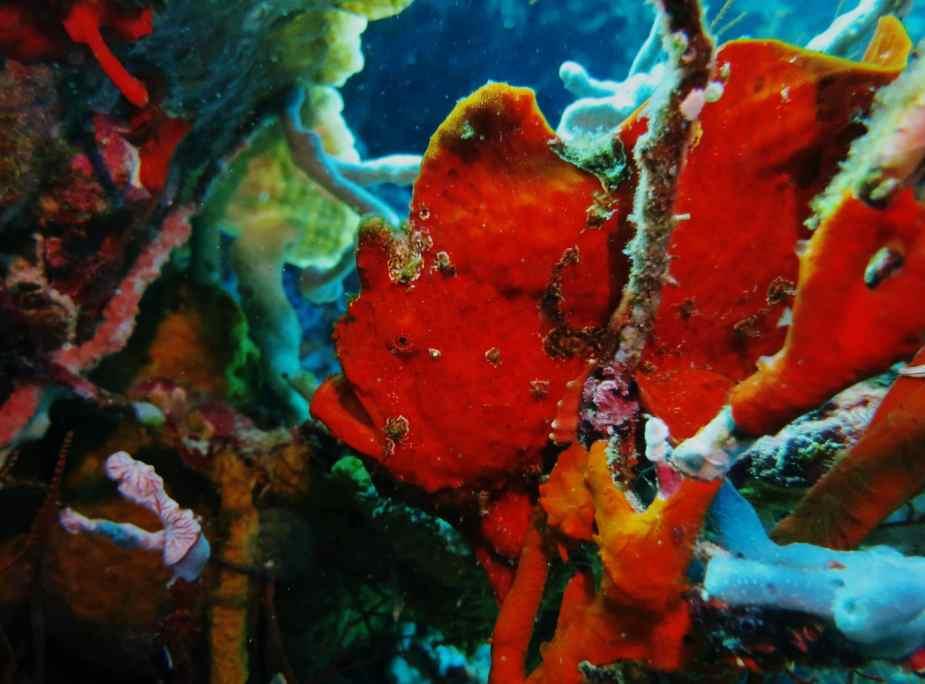 frogfish Menjangan Island - best dive sites Bali