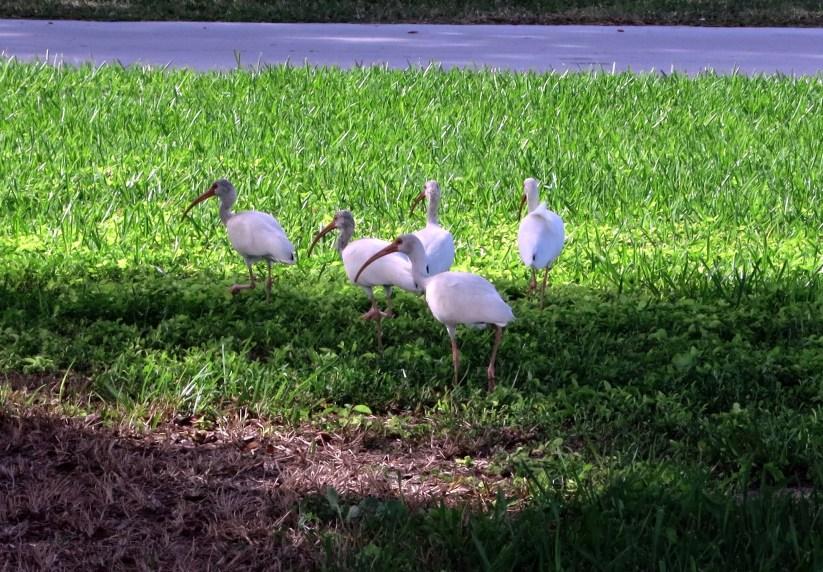 Flamingo Everglades Florida