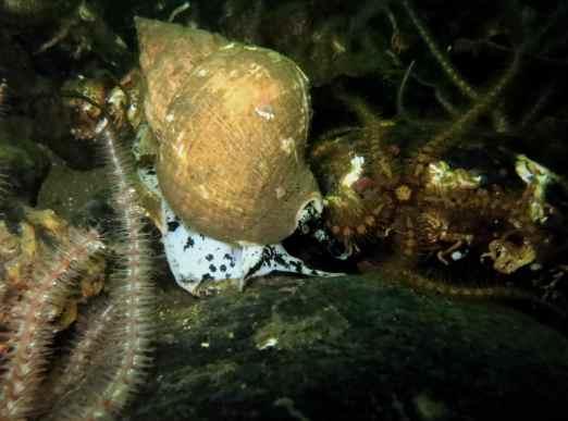 Whelk and brittle starfish Gallanach Oban Scotland