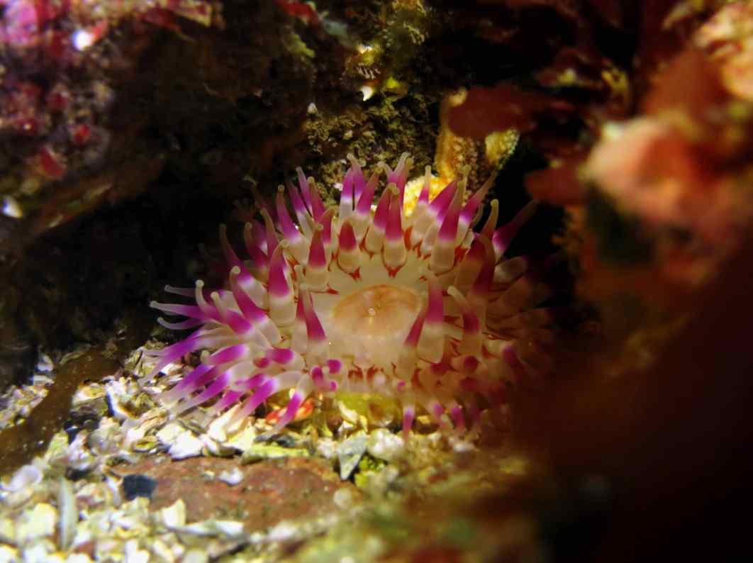 Dahlia anemone Scuba diving St. Abbs Scotland UK
