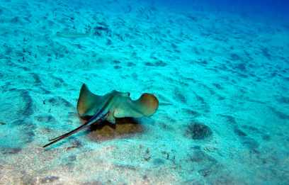 Scuba diving stingray Tenerife Canary Islands